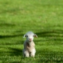 Lamb on a green field