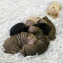 Wrinkly Shar Pei puppies are wrinkly