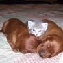 Kitten and puppies sandwich