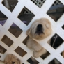 Puppies vs. fence