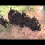 Bear cubs do the love train