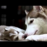 Husky puppy playing with mom