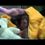 Baby chimp wakes up