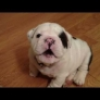 Bentley the Bulldog Puppy is fussy
