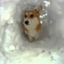 A snow tunnel for a cute corgi